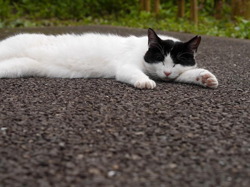 暑い日に寝ている猫1