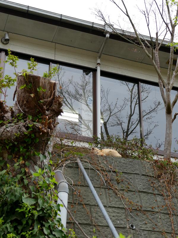 お店の窓と茶トラ猫2