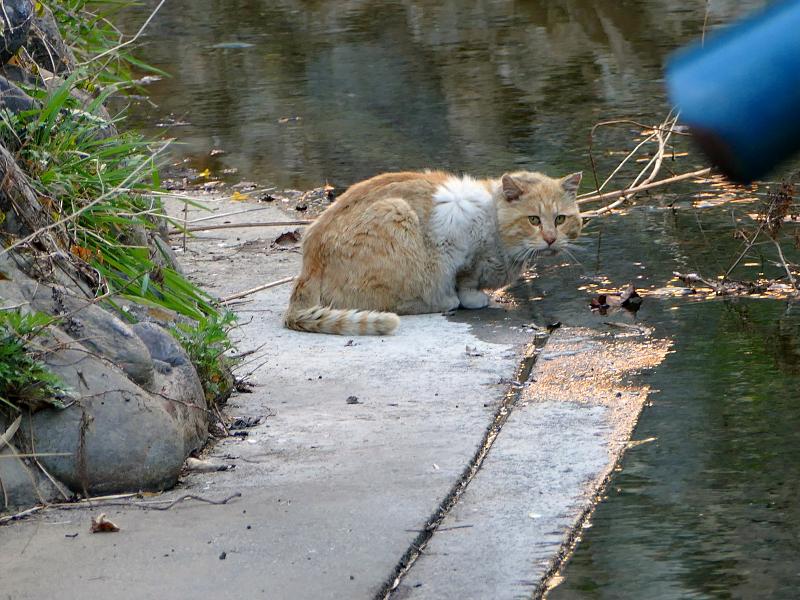 水を飲む茶白猫2