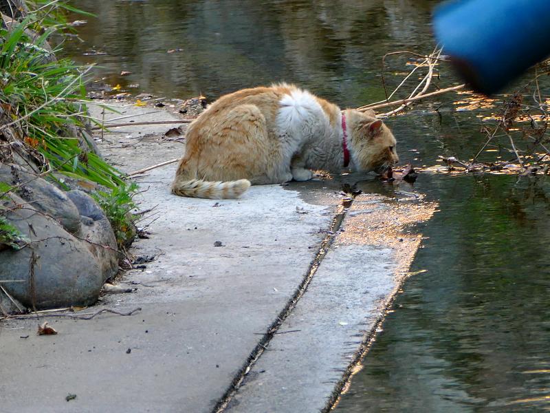 水を飲む茶白猫3