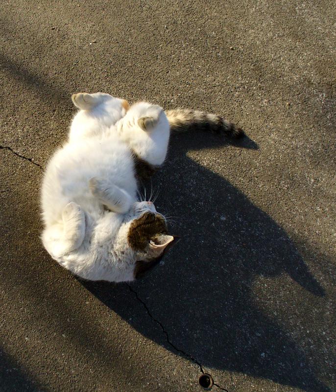 ハイアングル転がるキジ白猫2