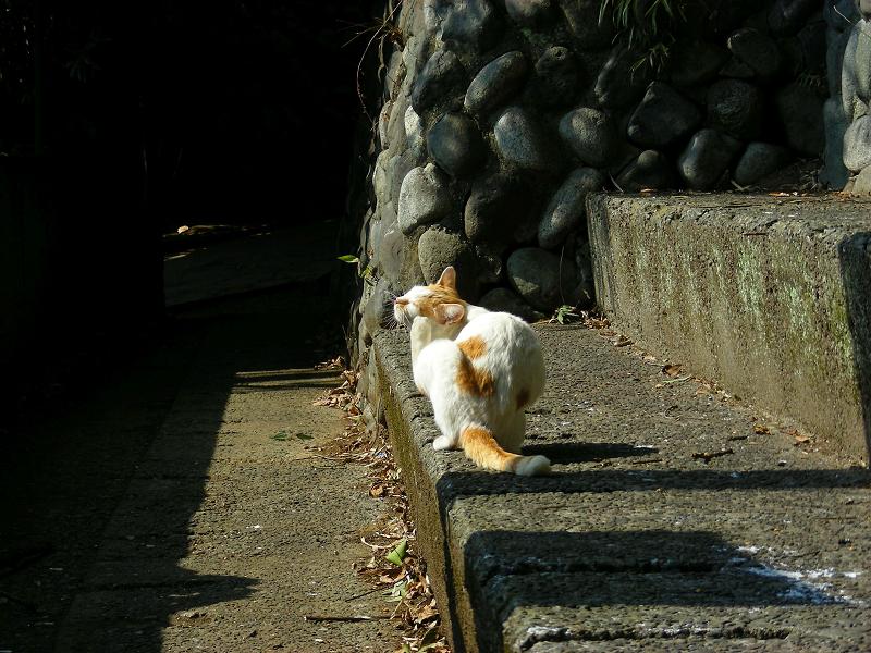 戻ってきた白茶猫3