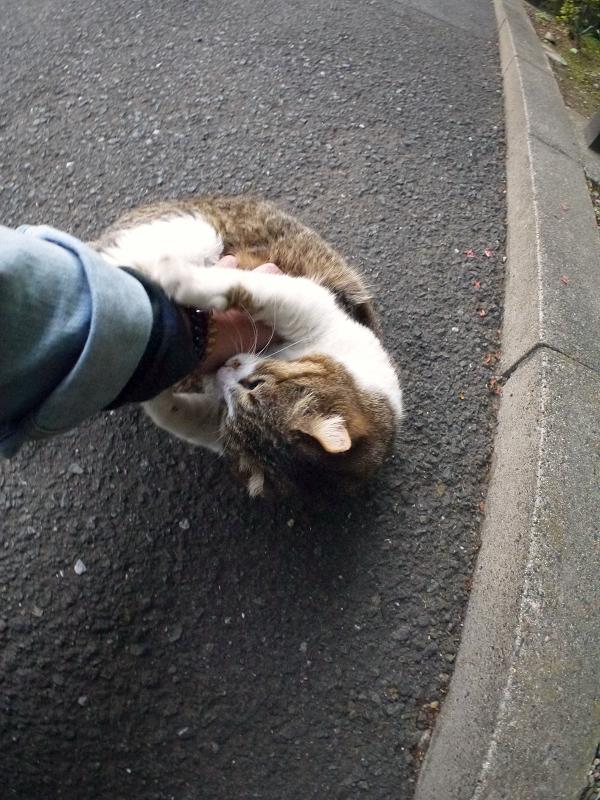 足キックのキジ白猫3