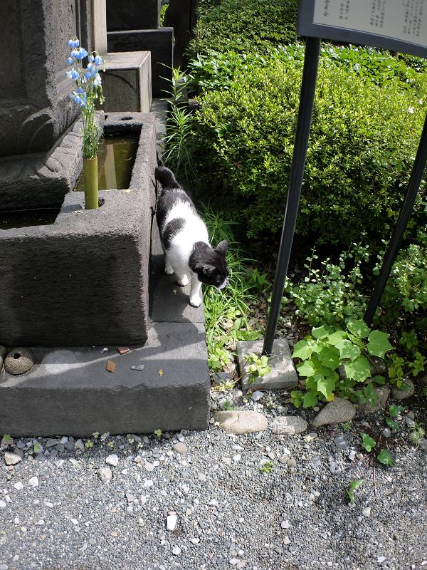 境内に戻ってきた白黒猫1