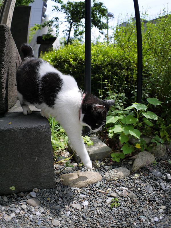 境内に戻ってきた白黒猫2