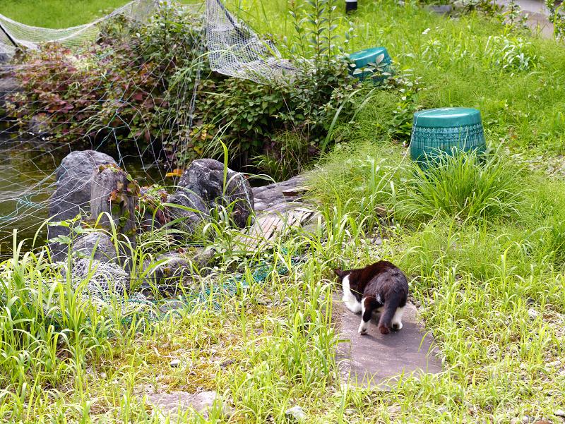 草叢で虫に夢中な黒白猫1