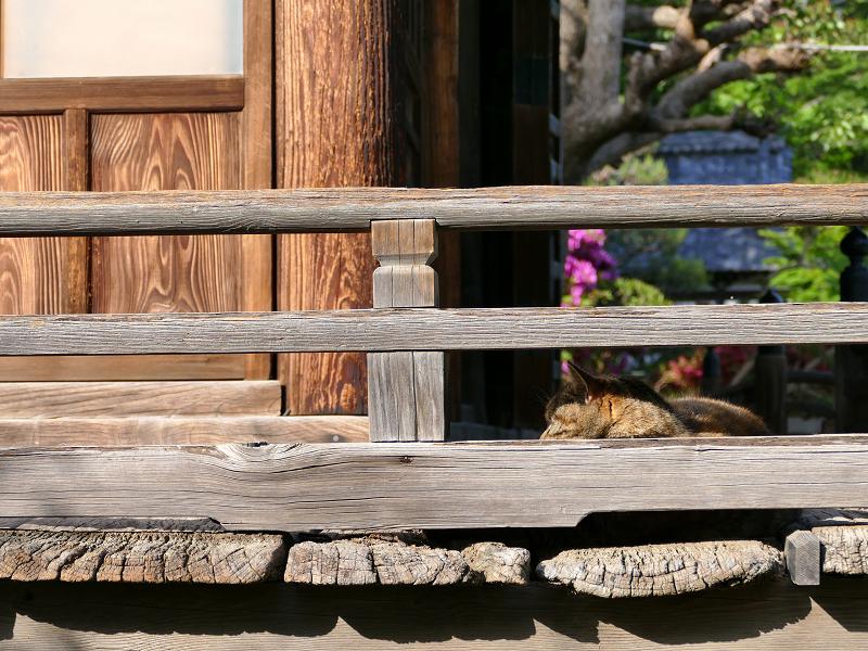 欄干に寄り掛かるキジトラ猫1