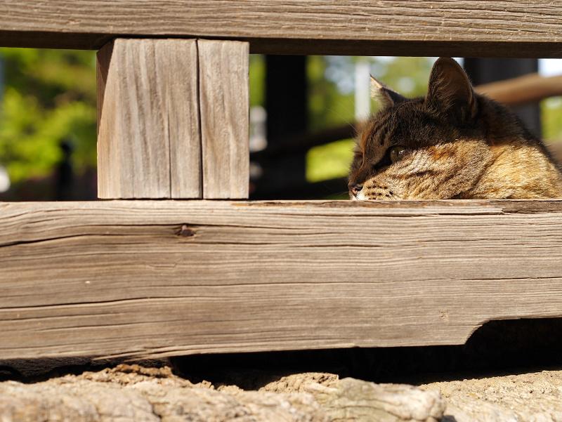 欄干に寄り掛かるキジトラ猫2