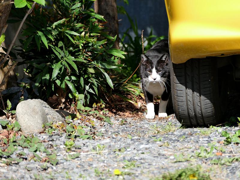 黄色い車と黒白猫