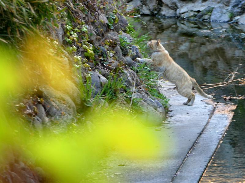 斜面を登る茶白猫1