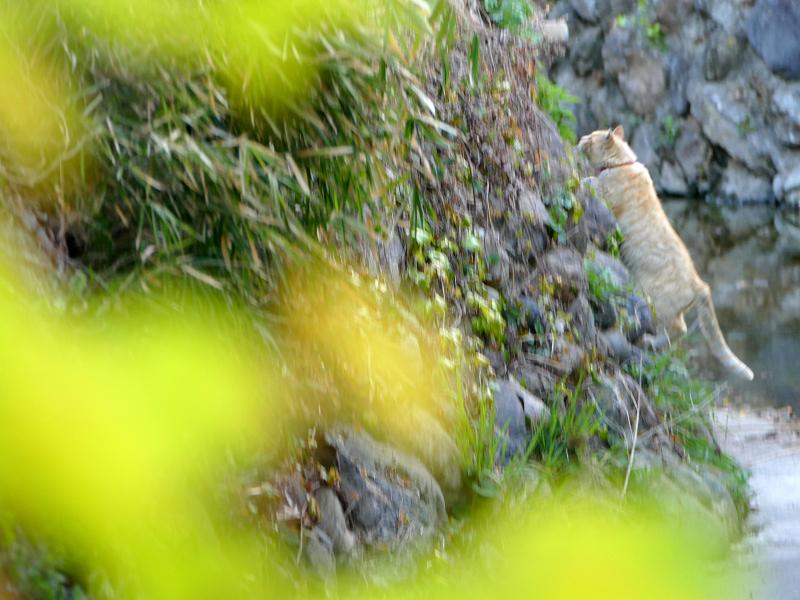 斜面を登る茶白猫2