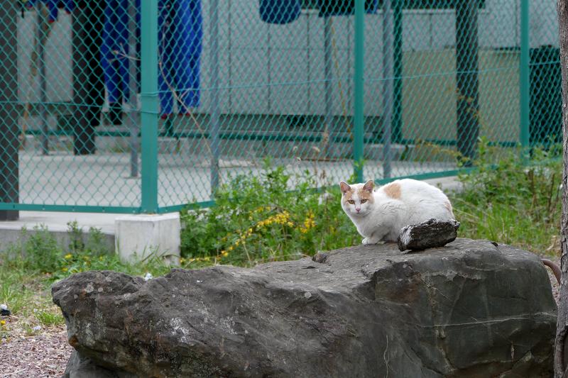 岩の上の白茶猫3