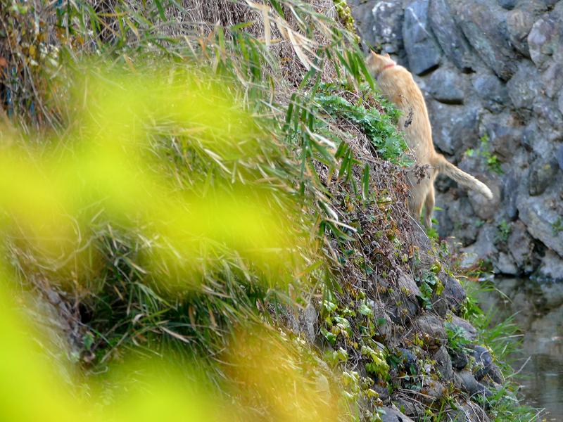 斜面を登る茶白猫3