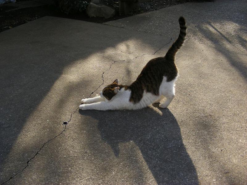夕陽と伸びをするキジ白猫