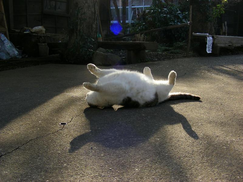 夕陽と仰向けになるキジ白猫