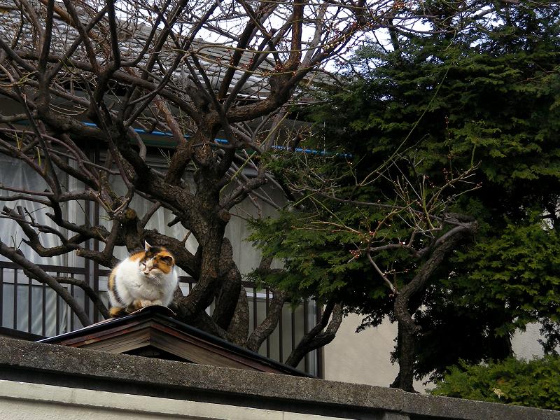 蔵の屋根の三毛猫1