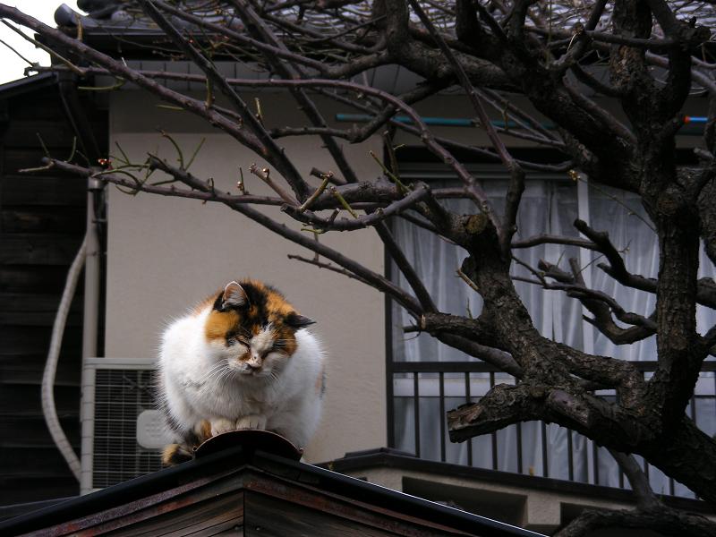蔵の屋根の三毛猫2
