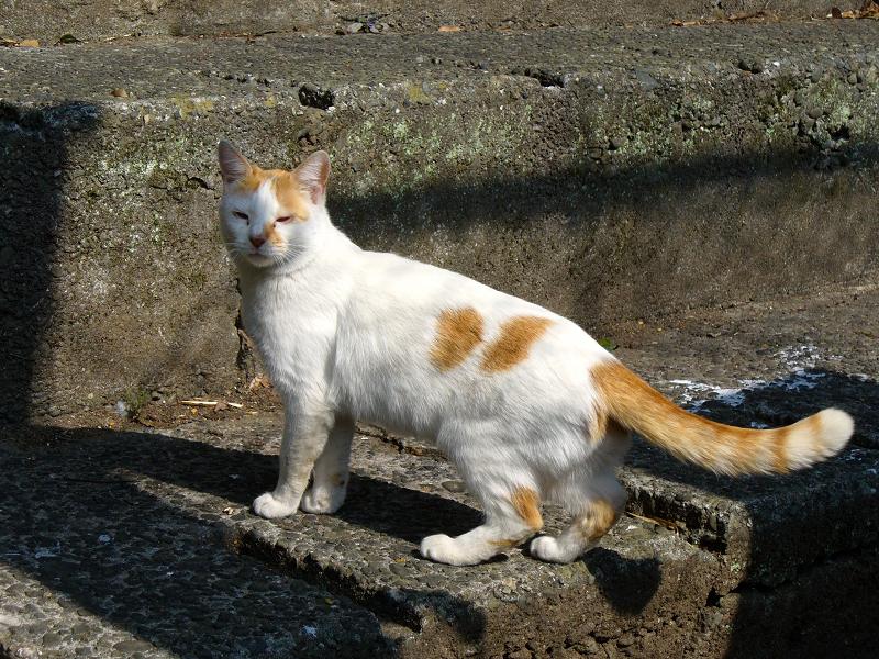 またもや立ち去る白茶猫2