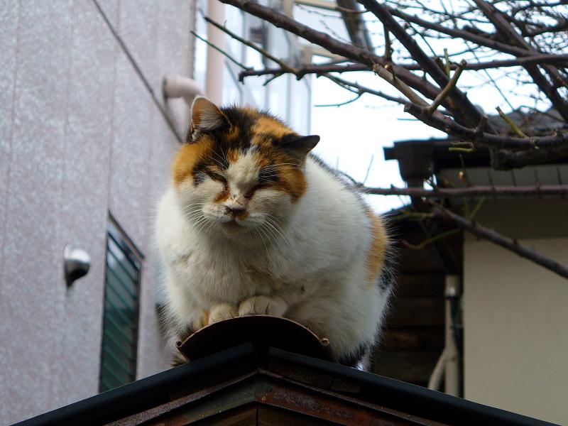 蔵の屋根の三毛猫3