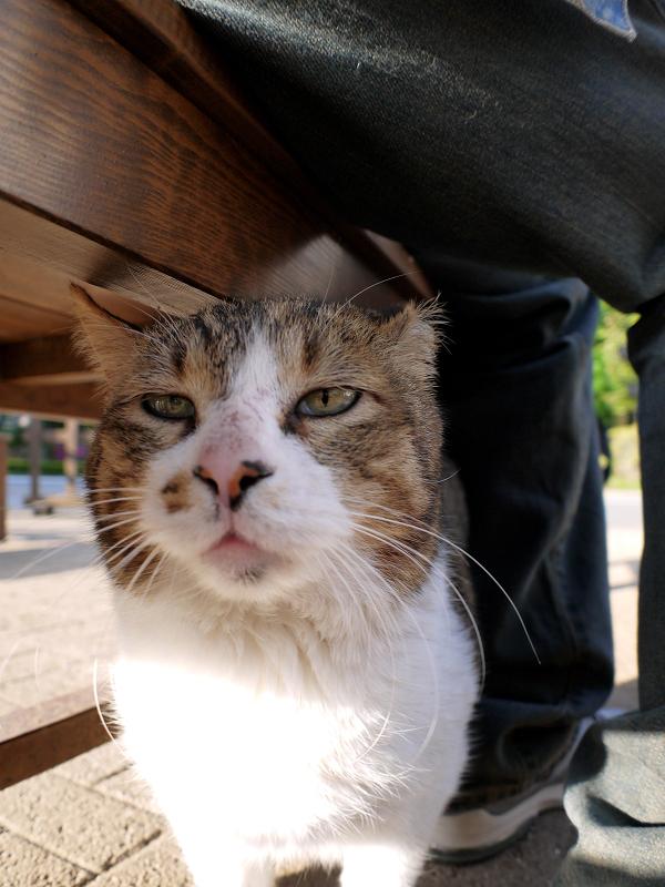 ベンチとキジ白猫1