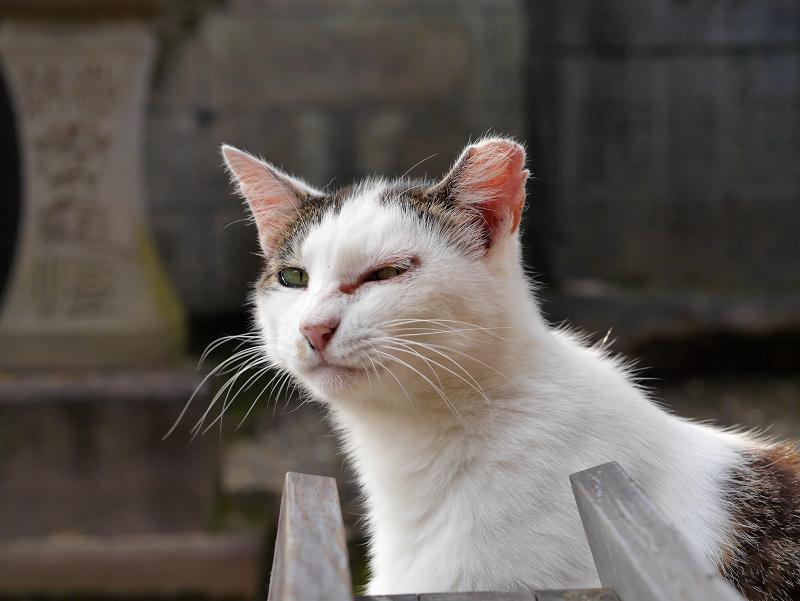 表情が変わっていく白キジ猫1