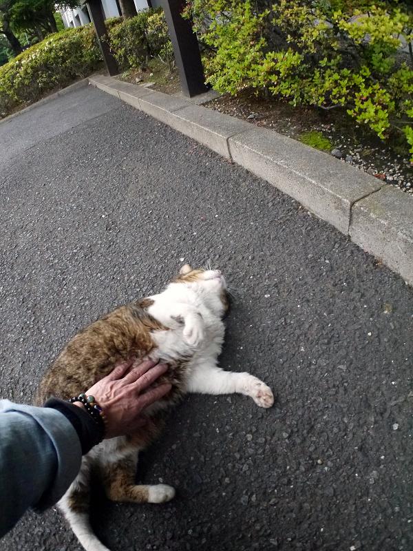 仰向けモフモフキジ白猫3