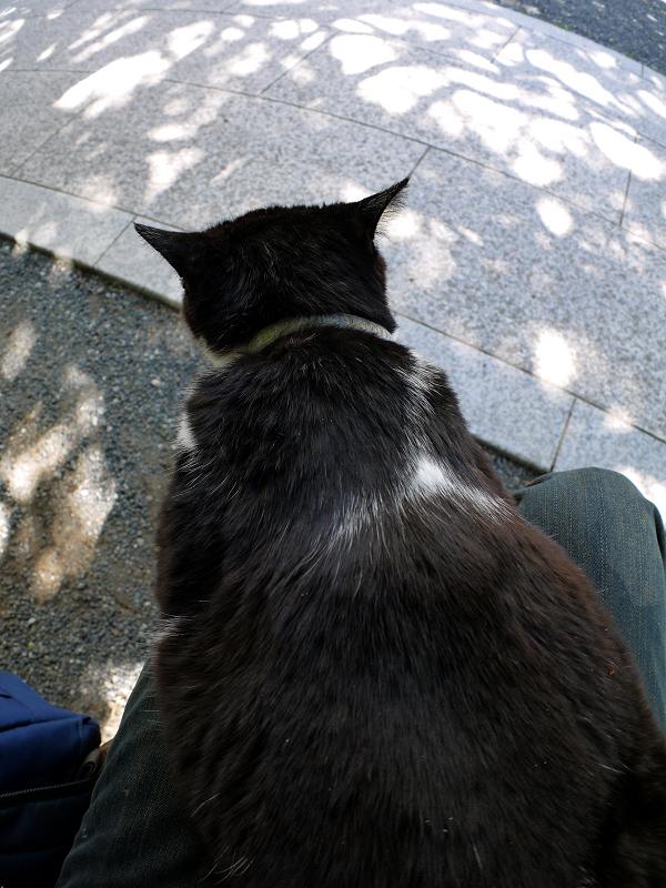 膝の上の大きな黒白猫1