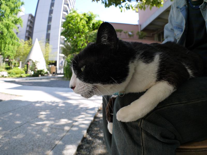 膝の上の大きな黒白猫2