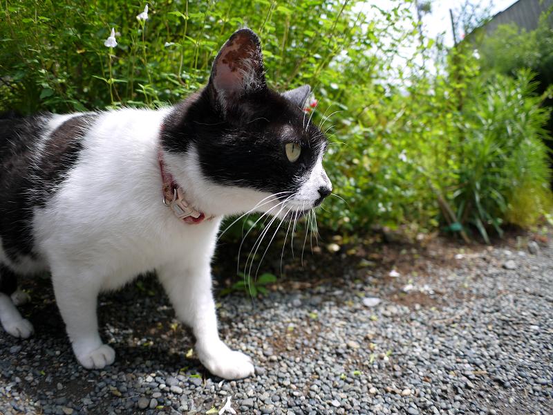 境内で潜り込む白黒猫2