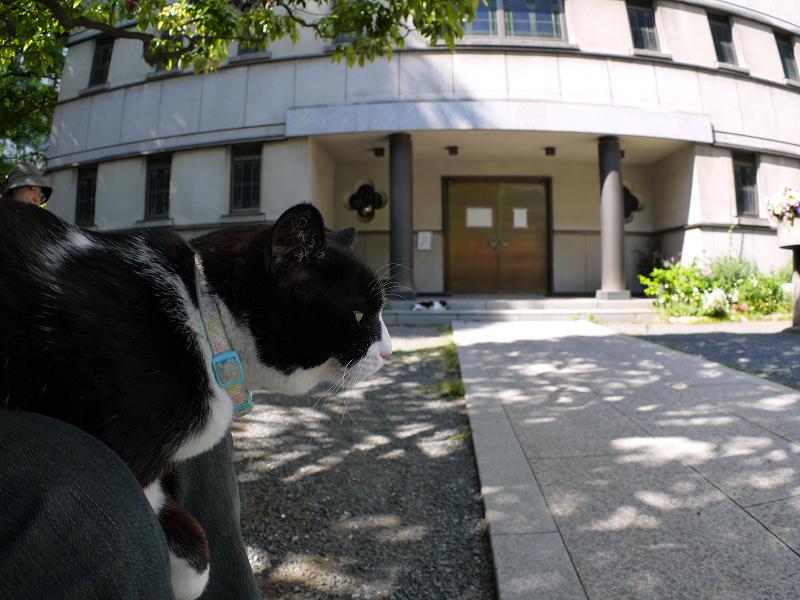 膝の上の大きな黒白猫3