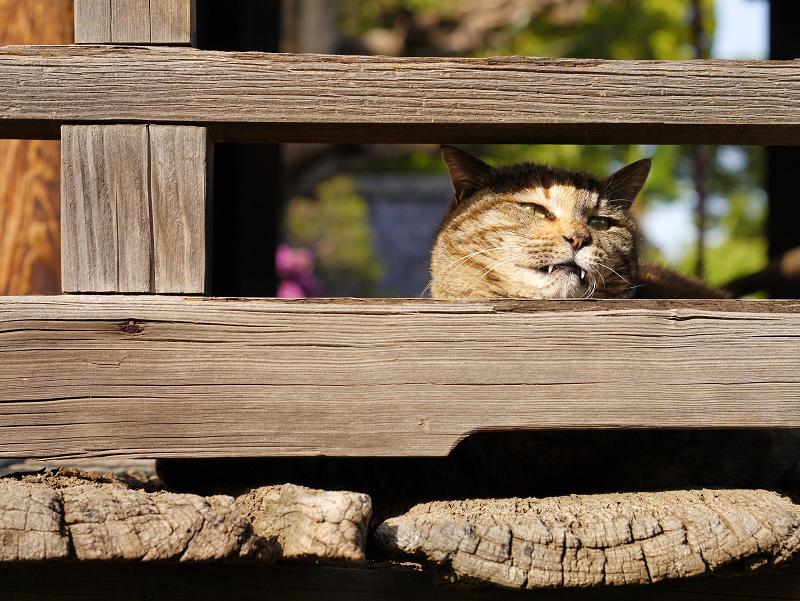 欄干隙間顔のキジトラ猫1