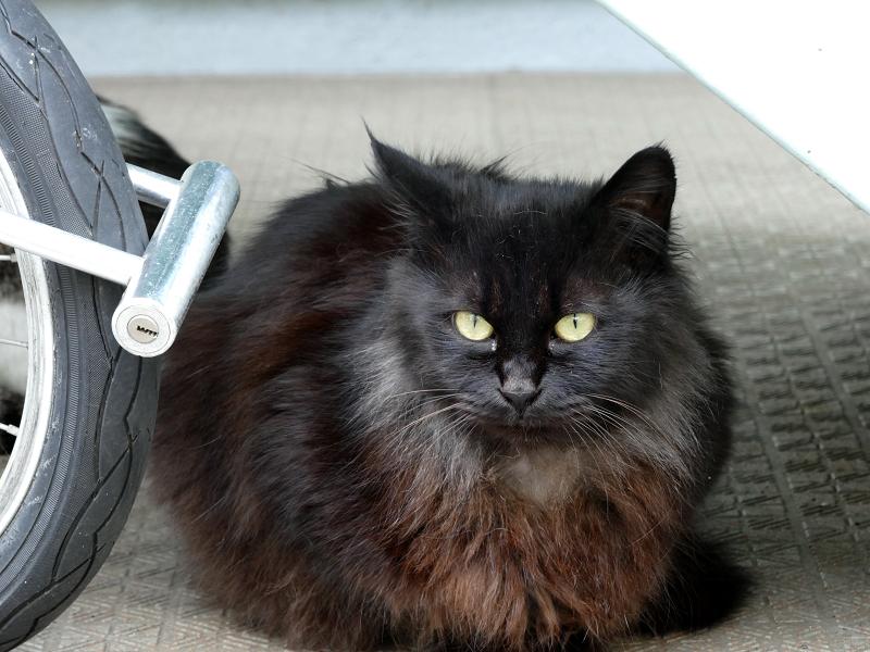 毛が長い黒猫