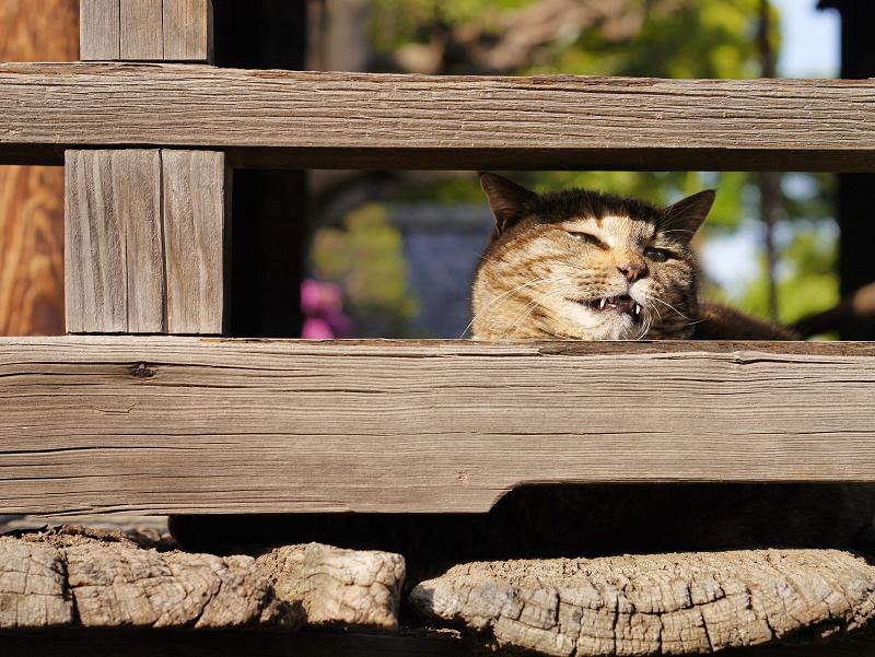 欄干隙間顔のキジトラ猫2