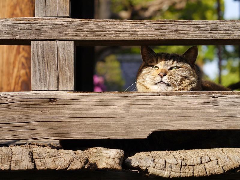 欄干隙間顔のキジトラ猫3