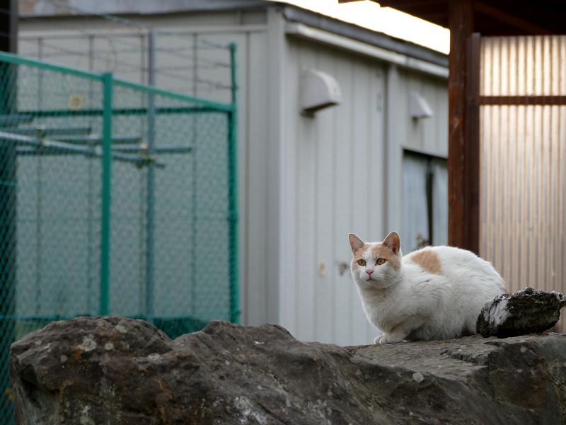 岩の上を移動する白茶猫1