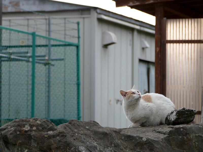 岩の上を移動する白茶猫2