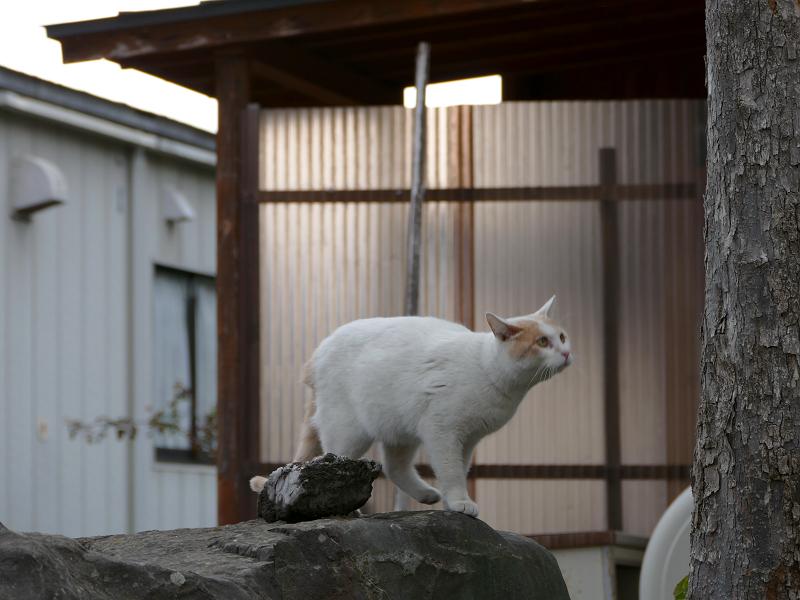 岩の上を移動する白茶猫3