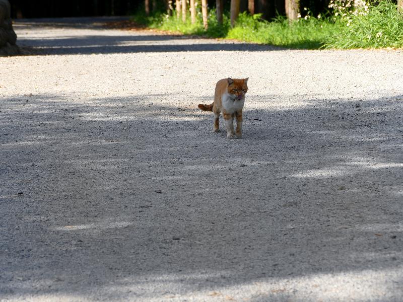 境内を歩いて来た茶白猫3