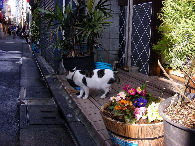飲み屋街の白キジ猫1