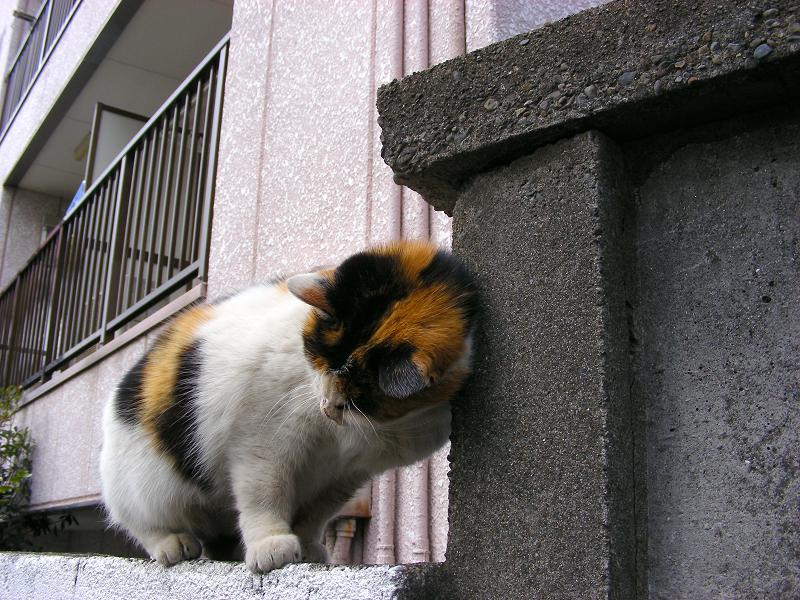 ブロック塀の三毛猫2