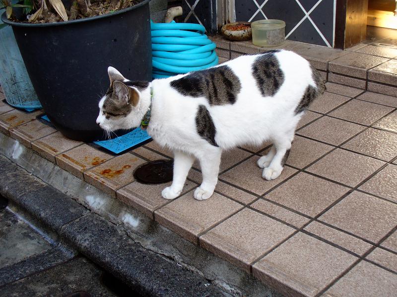 飲み屋街の白キジ猫2
