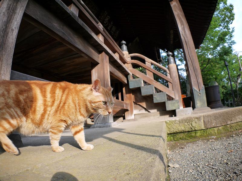 お堂で寛ぐアメショー風の猫1