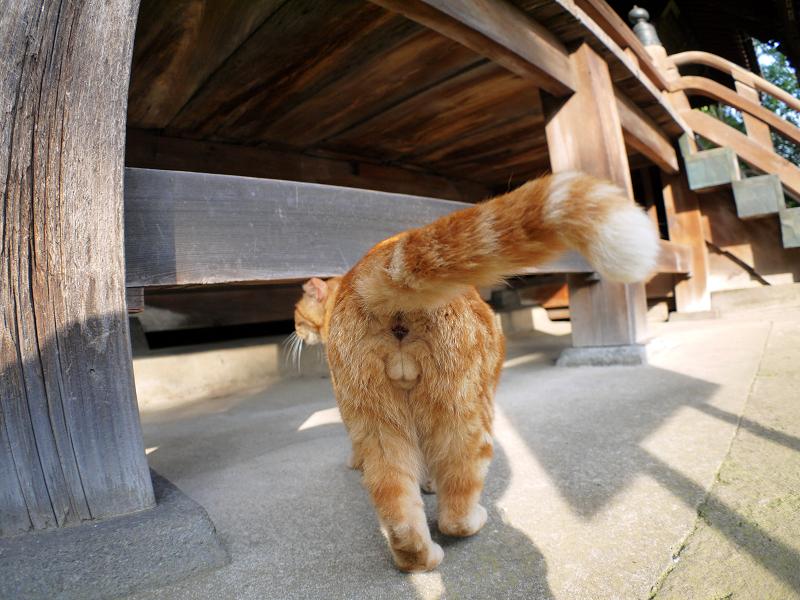 お堂で寛ぐアメショー風の猫2