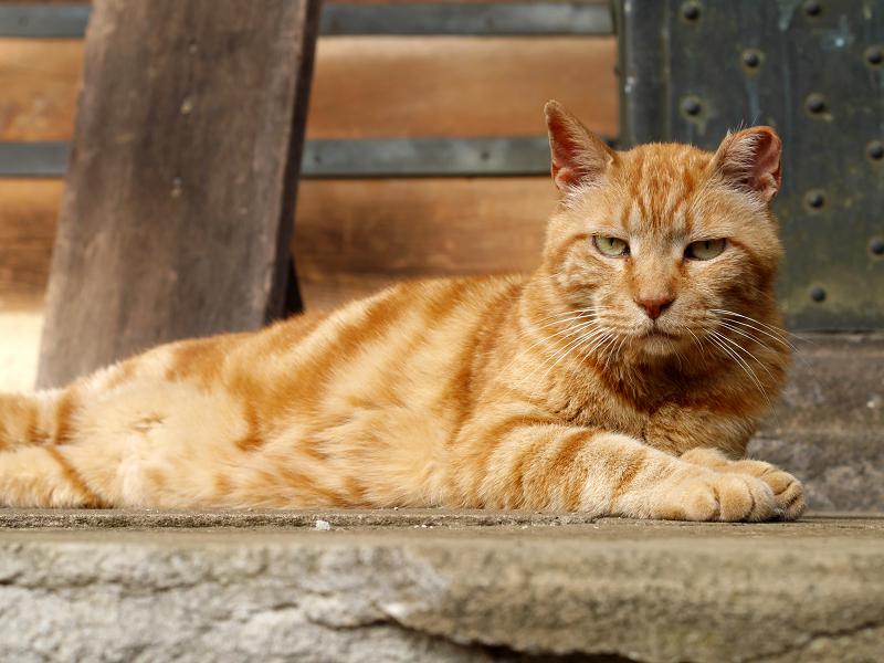 お堂で寛ぐアメショー風の猫3