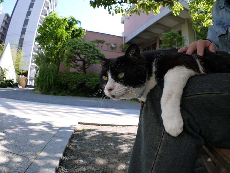 膝から睨む黒白猫1