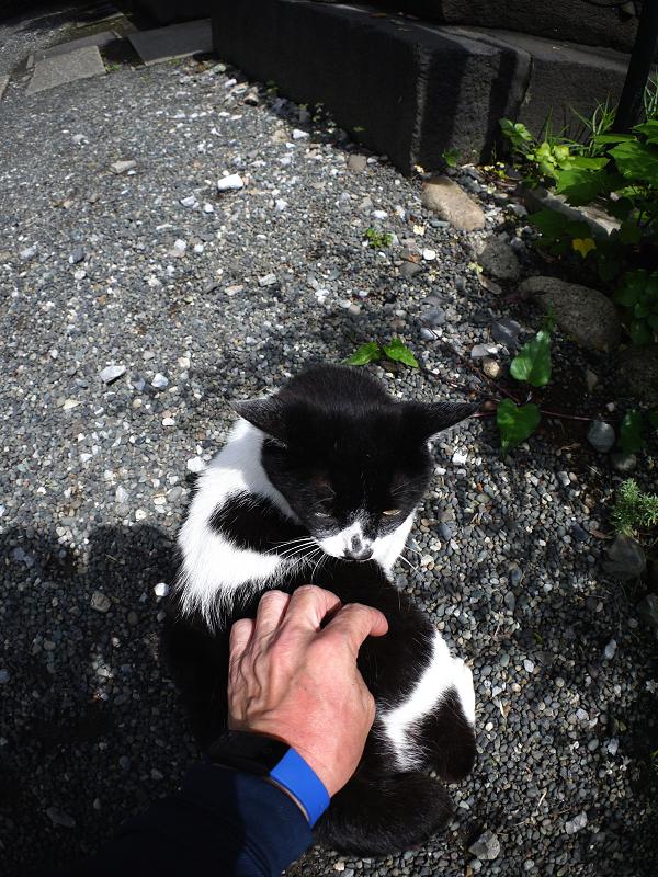 私の手を噛む白黒猫1