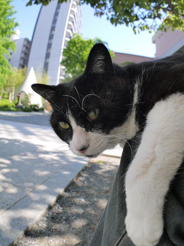 膝から睨む黒白猫2
