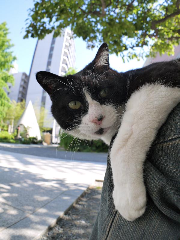 膝から睨む黒白猫3