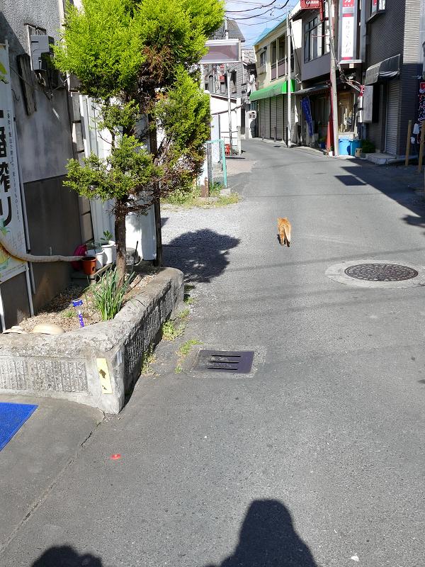 道を歩く茶トラ猫1