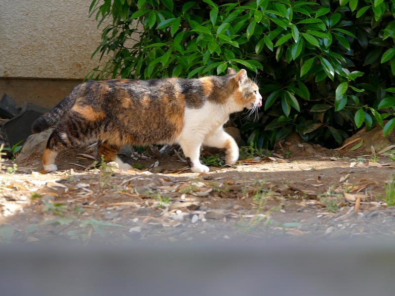 急ぎ足で歩いて来た三毛猫1